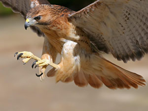 One of the band's hawks arcs in a predatory swoop at the ROMP Bluegrass Festival in Owensboro, KY.