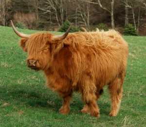 Alasdair Fraser and Natalie Haas now tour by Highland Cow.